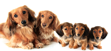 Two longhair purebred dachshund dogs and their puppies, studio isolated on white. Stock Photo