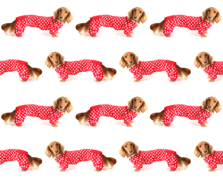 Extra long Dachshund puppy wearing a valentines outfit. Stock Photo