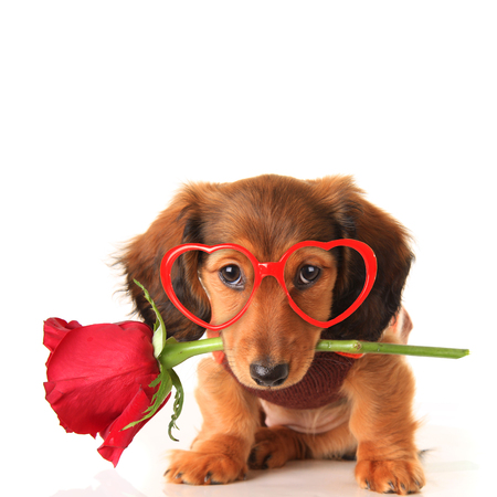 Longhair dachshund puppy dog, studio isolated on white wearing heart shaped Valentines day eyeglasses and holding a red rose. Valentine love concept, February 14. Stock Photo