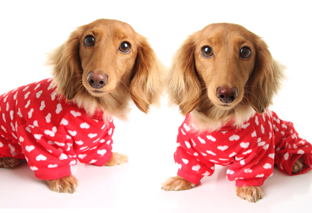 two Dachshund puppy dogs wearing red valentines day pajamas with white hearts. Valentine love concept for February 14.