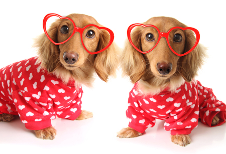 two Dachshund puppy dogs wearing red valentines day pajamas with white hearts. And heart shaped eye glasses. Valentine love concept for February 14.