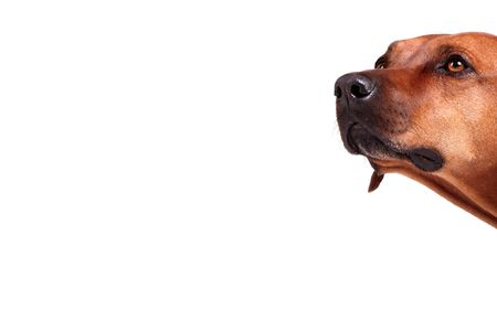 intrigued: rhodesian ridgeback over white background, plenty of copy space
