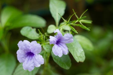 plantae: Ruellia tuberosa or minnieroot