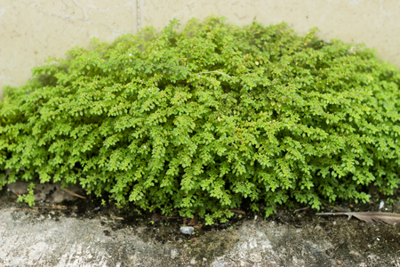 shrub: green short shrubs