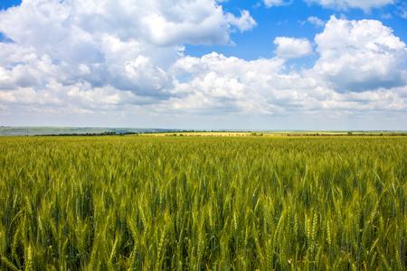 Wheat on the field, blue sky