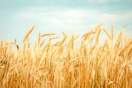 Ripe wheat on the field, blue sky Stock Photo