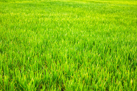 Field of young wheat, green wheat sprouts