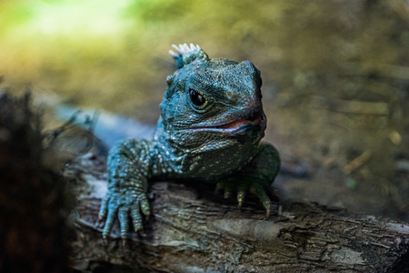 Native New Zealand Tuatara Reptile portrait