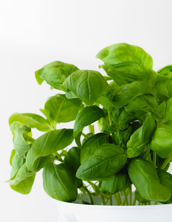 Basil leaves close up, on white background, vertical, copy space