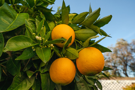 Blossom orange trees. Beautiful season, when trees have ripe fruits and flowers at the same time. Stock fotó