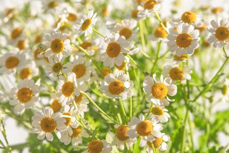 Chamomiles,  Beautiful Floral Background 免版税图像