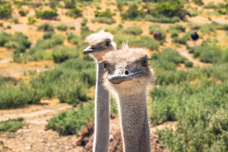Ostriches Portrait. Ostriches Have the Largest Eyes of Any Birds in the World