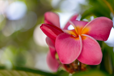 Beautiful Pink Plumeria. Plumeria Tree in Bloom. Iconic Tropical Flower