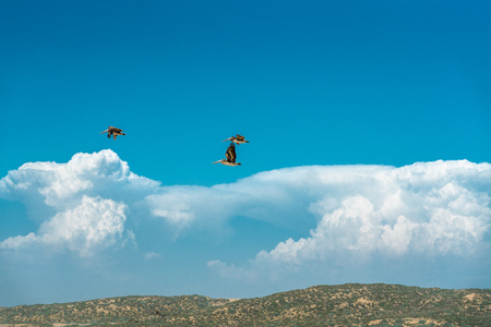 Flying Pelicans, Cloudy Blue Sky Background Banco de Imagens