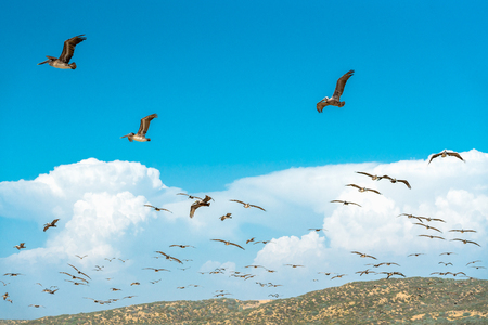 Flock of Pelicans Flying over the Hills, Cloudy Blue Sky Background Banco de Imagens