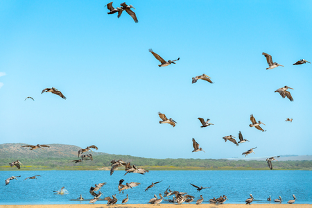 Flock of Pelicans on the Beach, Blue Sky Background Banco de Imagens