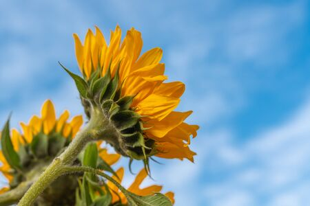 Yellow Sunflowers Against Beautiful Cloudy Blue Sky Banco de Imagens