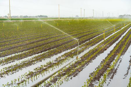 Sprinkler Irrigation, rows of young plants in a field
