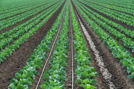 Rows of Young Plants in a Field. Agricultural Field of Cabbage Plant