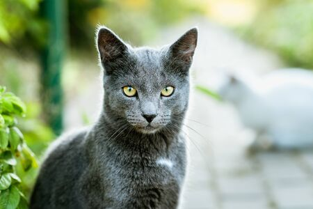 Cat Looking into Camera. Beautiful Gray Cat Close Up Banco de Imagens