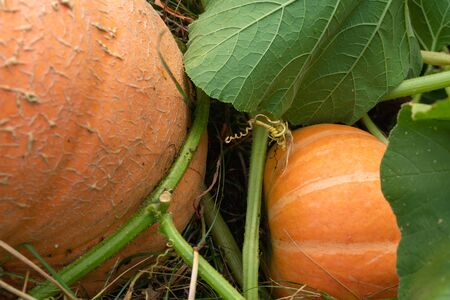 Pumpkins in the Garden. Autumn Background, Harvest, Farming. Fresh, Organic Vegetables