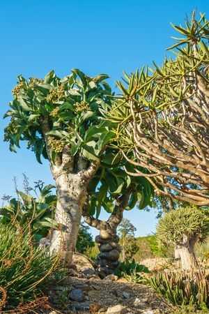 Tropical trees in the garden. Botterboom or Butter Trees