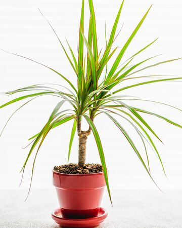 Dracaena, also known as dragon tree, close up on white background, back light from window