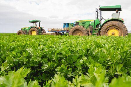 Agricultural field of celery plant, Santa Barbara County, California