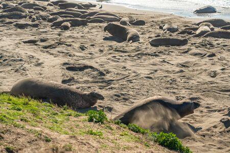 Elephant seal colony. Male seals s fighting over territory and female harem. Piedras Blancas Elephant Seal Colony, near San Simeon, California Stock fotó
