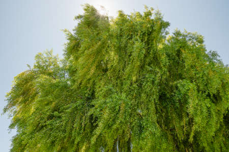 Mayten tree, Maytenus boaria, a very attractive evergreen weeping tree, native from South America, closeup view