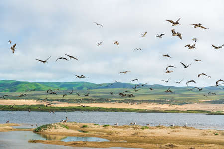 Flock of birds on the beach. Pelicans and seagulls flying over the river. Beautiful green hills, sand dunes, and cloudy sky on background. Guadalupe-Nipomo Dunes National Wildlife Reserve, California