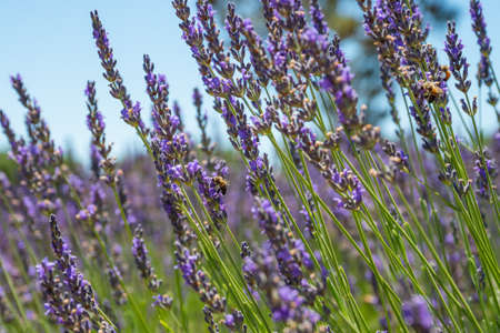 Lavender flowers and bees close up, clear blue sky on background