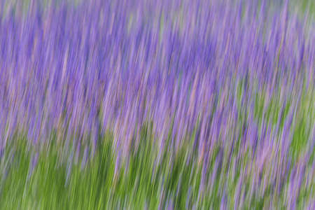 Blossom lavender flowers abstract background. Sunny summer day, California lavender field
