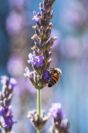 Close up of lavender flower and bee, beautiful soft blue background with bokeh