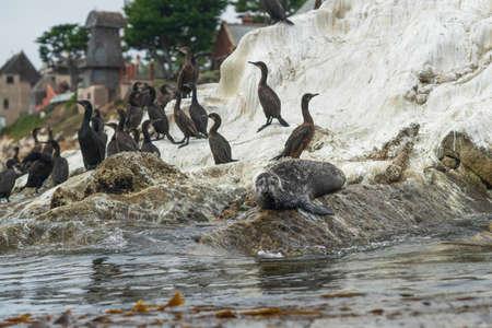 Seal and flock of cormorants on the rock in the ocean. Zdjęcie Seryjne