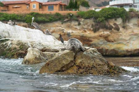 Rocky cliffs and seal, Shell Beach, California