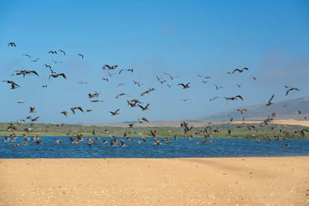 Flock of birds flying over the river, Guadalupe-Nipomo Dunes National Wildlife reserve, California