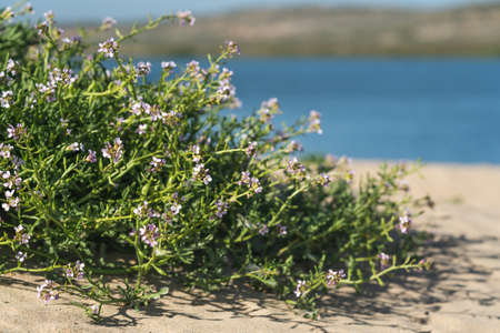 Sea Rocket flowers in bloom on the beach. Sea Rocket is a succulent - a low growing plant commonly found near sea or ocean.