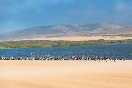 Flock of pelicans on the beach, blue river, sand dunes, and cloudy sky on background, California Zdjęcie Seryjne