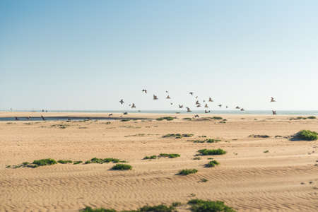 Sand dunes on the beach and flock of flying pelicans, clear blue sky on background