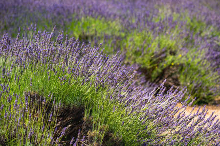 Lavender farm in California. Beautiful flowers in bloom on sunny summer day