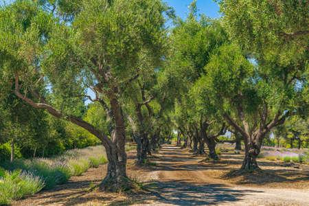 Oak trees alley, sunny summer day in California