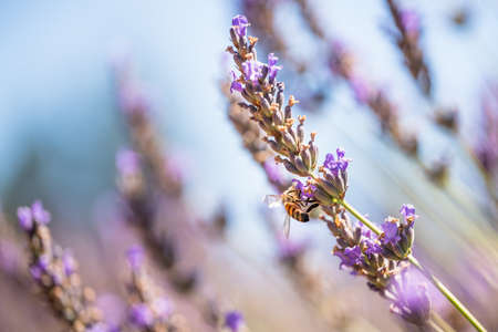 Lavenders in bloom and bee close up, beautiful blue sky background. Lavender field, sunny summer day in California Zdjęcie Seryjne