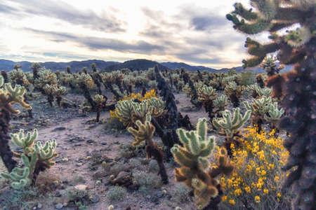Cholla Cactus Garden at sunset, Joshua Tree National Park, California Zdjęcie Seryjne