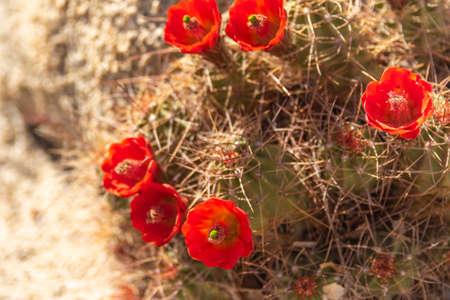 Mojave Mound Cactus blooming along the trail in Joshu Tree National Park, California Zdjęcie Seryjne