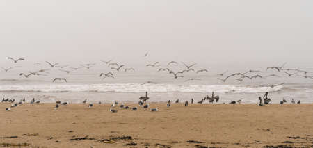 Large group of seabirds on the beach, stormy Pacific ocean background. Panoramic view, overcast foggy day, California Coastline