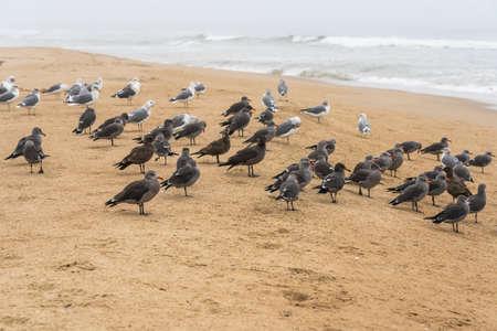 Flock of seagulls on the beach. Pacific Coast, California