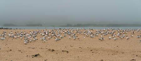 Great colony of sea birds on the beach in foggy day. Flock of least tern birds, California