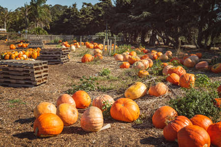 Pumpkin patch. Ripe organic orange pumpkins at outdoor farmer market in California