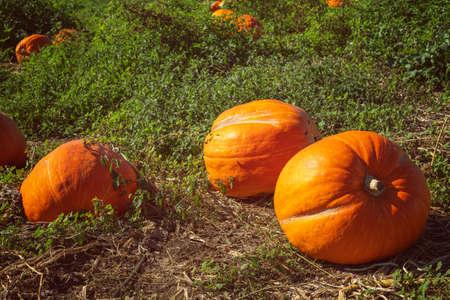 Orange pumpkins on pumpkin field on a bright autumn day Stock Photo